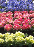 Colorful flowers on a market. Flowers on a belgian market Stock Photos