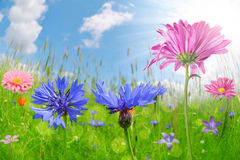 Colorful flowers in the meadow. Royalty Free Stock Images