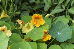 Colorful flowers of Nasturtium in the sun, macro Stock Images
