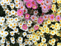 Colorful flowers. Nice pink yellow and white flowers Stock Images