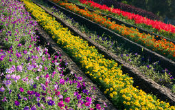 Colorful flowers on outdoor flowerbed. Colorful different flowers on outdoor city flowerbed Royalty Free Stock Image