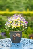 Colorful flowers in a pot Pansies. Pot of colorful pink and yellow Pansies / flowers Royalty Free Stock Photo