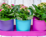 Colorful flowers in pots. Kalanchoe Calandiva flowers in colorful pots Royalty Free Stock Photography