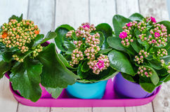 Colorful flowers in pots royalty free stock images
