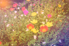 Colorful flowers with soft blur in the pastel vintage retro tone Royalty Free Stock Image