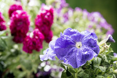 Colorful flowers for spring selective focus on first flower Royalty Free Stock Photography