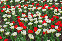 Colorful flowers in springtime. Stock Photography