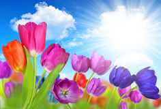 Colorful flowers tulip Stock Photos