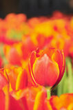 Colorful flowers tulips field Royalty Free Stock Photos