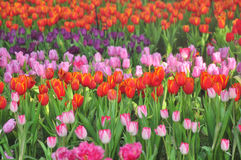 Colorful flowers tulips field Royalty Free Stock Photo