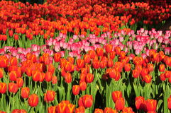 Colorful flowers tulips field Stock Image