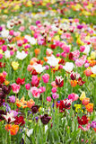 Colorful flowers and tulips in a field. Many different colorful flowers and tulips blooming in a field Stock Photo