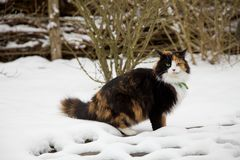Colorful, fluffy cat in winter garden Stock Image