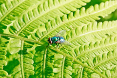 Colorful fly on green leaf Royalty Free Stock Image