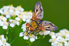 Colorful fly on white flowers on green background Royalty Free Stock Photography