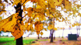 Colorful foliage in the autumn park. Nature background Royalty Free Stock Photo