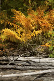 Colorful foliage of cinnamon ferns on the beach, Flagstaff Lake. Royalty Free Stock Images