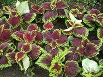 Colorful foliage Coleus Abigail. Coleus plant Coleus blumei underplant Stock Photo