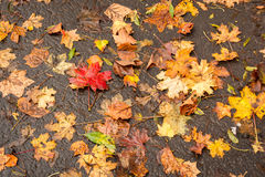 Colorful foliage on the ground in autumn. Red, golden, yellow and green maple leaves on the ground after october rain Royalty Free Stock Image