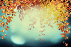 Colorful foliage  hanging in autumn park on sky background with bokeh. Toned, outdoor Royalty Free Stock Photo