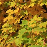 Colorful foliage of a maple tree in autumn. Royalty Free Stock Photography