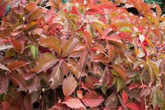 Colorful foliage of Parthenocissus quinquefolia. In autumn Royalty Free Stock Photography