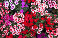 Colorful folwers Royalty Free Stock Images