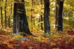 Colorful forest in autumn. A colorful forest in autumn with colored leafs Stock Images