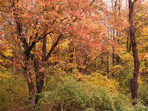 Colorful Forest In Autumn. A forest thick with leaves features colors of green, red, yellow, and orange Royalty Free Stock Photo