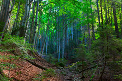 Colorful forest in Carphatian Mountain Royalty Free Stock Photo