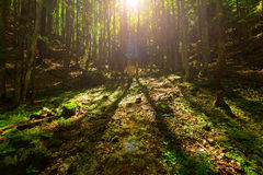 Colorful forest in Carphatian Mountain Stock Image