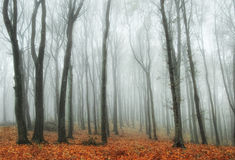 Colorful forest with fog in autumn. Colorful forest with fog trough the trees in autumn Royalty Free Stock Photography