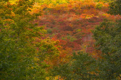 The colorful forest. Just beautiful this autumn landscape. All these hardwoods, yellow birch, maple, aspen, adorn themselves with their finest colors,  our Stock Photography