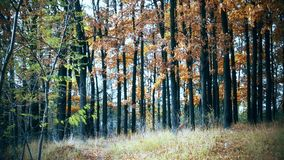 Colorful forest during transition from summer to autumn stock video footage