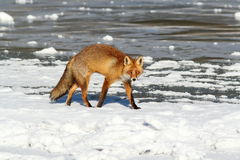 Colorful fox walking on ice Stock Photos