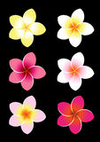 Colorful Frangipani stock illustration
