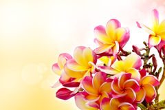Colorful frangipani Royalty Free Stock Image