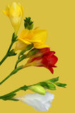Colorful freesia Stock Photography