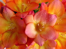 Colorful Freesia Stock Images