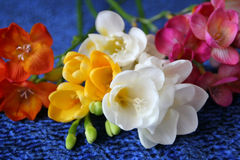 Colorful freesias Royalty Free Stock Photos