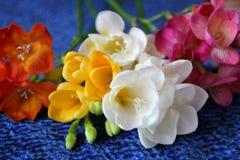 Colorful freesias royalty free stock photos