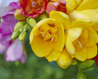colorful freesias, floral background Stock Photography