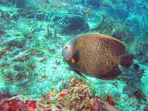 A Colorful French Angelfish Swims the Coral Reef stock photos