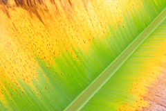 Colorful fresh banana leaf texture Royalty Free Stock Images