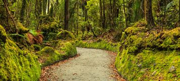 Colorful fresh bright green moss passage in the park, lichen walkway walking trail route in Lake Matheson, South Island Royalty Free Stock Photography