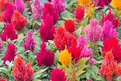 Colorful fresh celosia flower. In the garden Stock Image