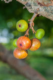 Colorful fresh Ficus racemosa Linn. fruit Royalty Free Stock Image