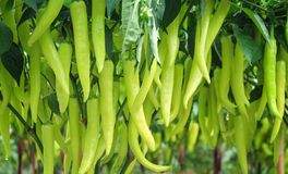 Colorful fresh green chili long pepper hanging with water drops on tree in organic vegetable farm , nature background Cayenne royalty free stock photo