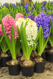Colorful fresh hyacinth flowers Stock Photo