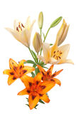 Colorful fresh lillies Royalty Free Stock Images